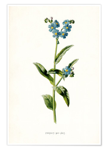 Premium poster Forget-Me-Not