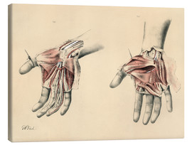 Canvas print  Upper limbs. Superficial and deep views of the palm - G. H. Ford