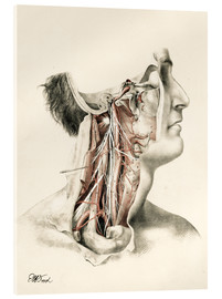 Acrylic print  Head and neck. Internal carotid and ascending pharynx and cranial nerves in the neck area - G. H. Ford
