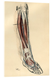 Acrylic print  The lower limb area. Front of the leg and dorsum of the foot - G. H. Ford
