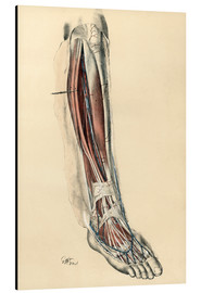 Aluminium print  The lower limb area. Front of the leg and dorsum of the foot - G. H. Ford
