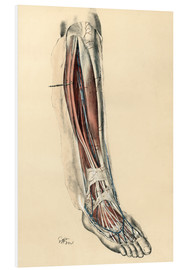 Foam board print  The lower limb area. Front of the leg and dorsum of the foot - G. H. Ford