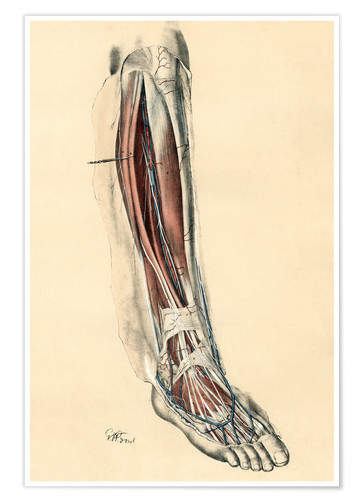 Premium poster The lower limb area. Front of the leg and dorsum of the foot