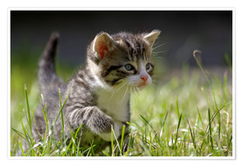 Poster  Kitten - WildlifePhotography