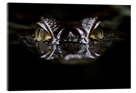 Acrylic print  alligator - WildlifePhotography
