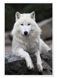 Premium poster  the wolf - WildlifePhotography