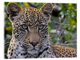 Acrylic print  The leopard - Africa wildlife - wiw