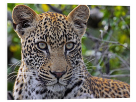 Foam board print  The leopard - Africa wildlife - wiw