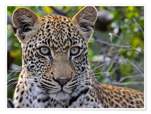 Premium poster The leopard - Africa wildlife