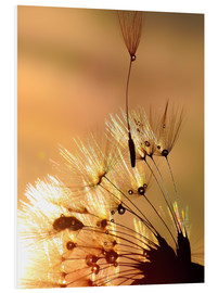 Foam board print  Dandelion golden touch - Julia Delgado