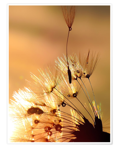 Poster Dandelion golden touch