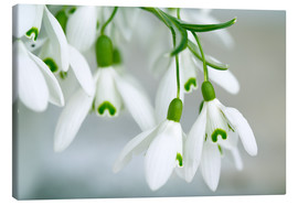 Canvas print  Snowdrop Flowers in Spring - Nailia Schwarz