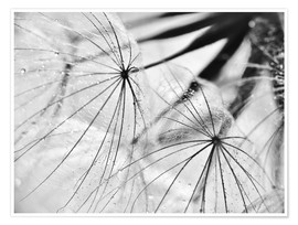 Premium poster Dandelion black and white