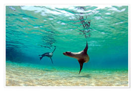 Premium poster Sea lion lagoon Galapagos Islands