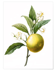 Premium poster  Orange Tree - Pierre Joseph Redouté