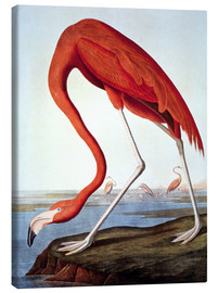 Canvas  American Flamingo