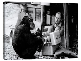 Canvas print  Jane Goodall with chimp, David Greybeard
