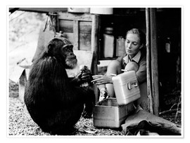 Premium poster  Jane Goodall with chimp, David Greybeard