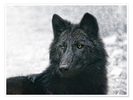 Premium poster the black wolf