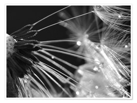 Premium poster  Dandelion black and white - Julia Delgado