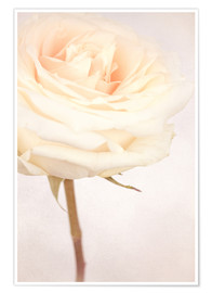 Premium poster WHITE WEDDING ROSE
