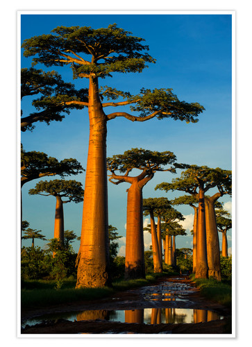 Premium poster Huge baobab trees in Madagascar