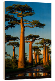 Wood print  Huge baobab trees in Madagascar - Andres Morya Hinojosa