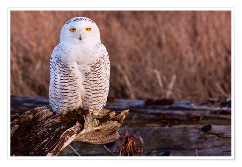 Premium poster Snowy owl on a tree