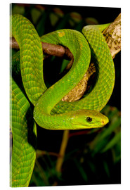 Acrylic print  Green mamba on a branch - David Northcott