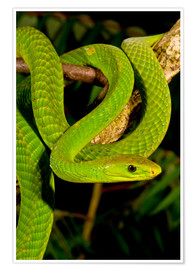Premium poster  Green mamba on a branch - David Northcott