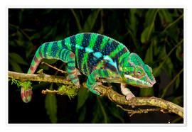 Poster Rainbow Panther Chameleon