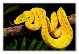 Premium poster  Green tree python - David Northcott