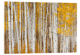Acrylic glass  USA, Colorado, White River National Forest, aspen - Charles Gurche