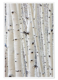 Premium poster Eyes of aspen trees