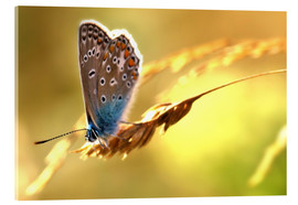 Acrylic glass  Butterfly in late summer - Julia Delgado