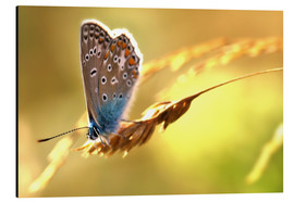 Alu-Dibond  Butterfly in late summer - Julia Delgado