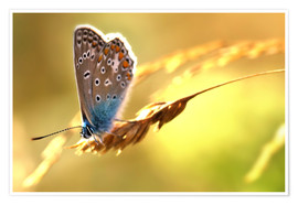 Premium poster  Butterfly in late summer - Julia Delgado