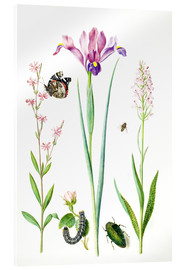 Acrylic glass  Red catchfly, rose, iris & orchis - Maria Sibylla Merian