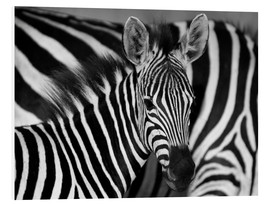 Foam board print  Zebra black and white - HADYPHOTO by Hady Khandani