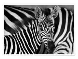 Premium poster  Zebra black and white - HADYPHOTO