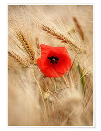 Premium poster  Red poppy in wheat field 2 - Falko Follert