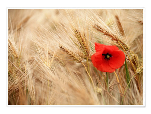 Premium poster Red poppy in wheat field