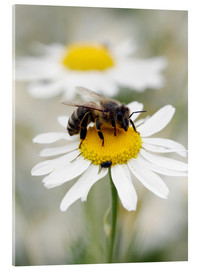 Acrylic print  Bee on the camomile lawn - Falko Follert