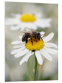 Foam board print  Bee on the camomile lawn - Falko Follert