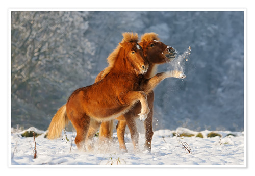 Premium poster Icelandic horses foal playing in snow