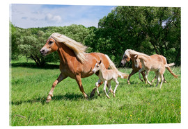 Acrylic glass  Haflinger mares with their foals running - Katho Menden