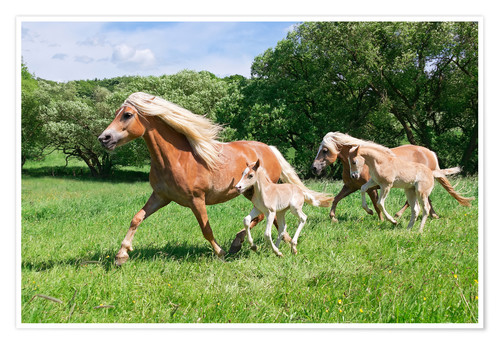 Premium poster Haflinger mares with their foals running