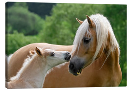 Canvas print  Haflinger horses foal with mare - Katho Menden