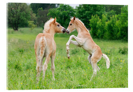 Acrylic print  Haflinger foals playing and rearing - Katho Menden