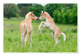 Poster Haflinger horses foals playing and rearing